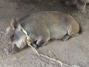 Erd-Schwein